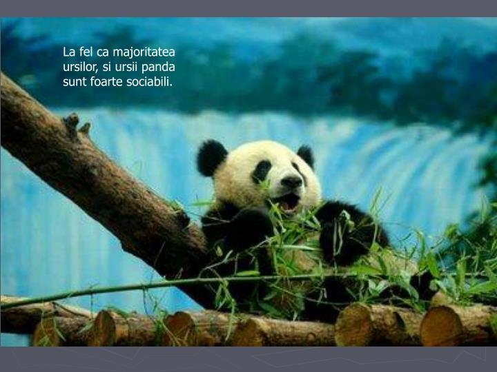 La fel ca majoritatea ursilor, si ursii panda sunt foarte sociabili.