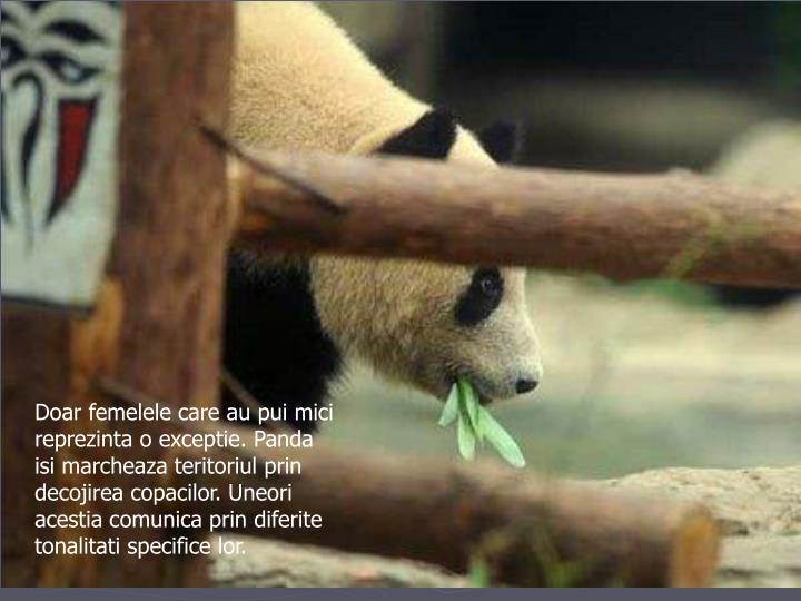 Doar femelele care au pui mici reprezinta o exceptie. Panda isi marcheaza teritoriul prin decojirea copacilor. Uneori acestia comunica prin diferite tonalitati specifice lor.