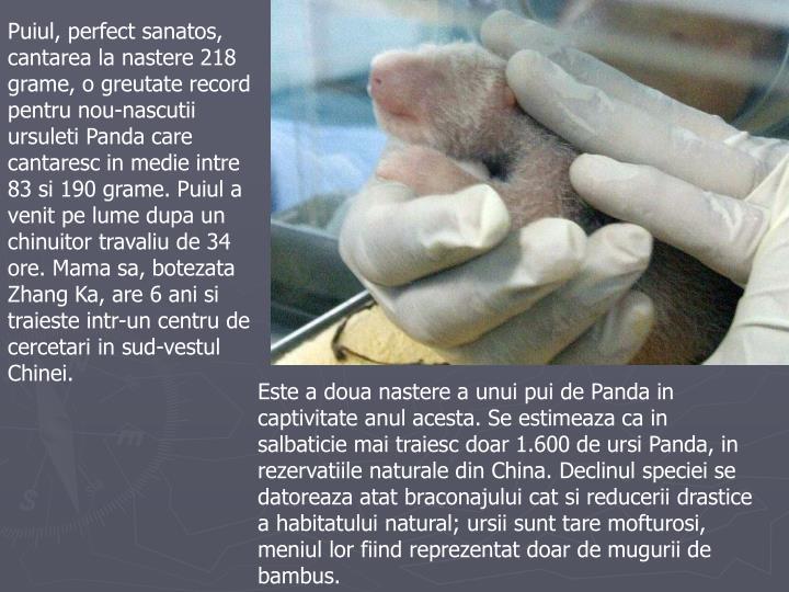 Puiul, perfect sanatos, cantarea la nastere 218 grame, o greutate record pentru nou-nascutii ursuleti Panda care cantaresc in medie intre 83 si 190 grame. Puiul a venit pe lume dupa un chinuitor travaliu de 34 ore. Mama sa, botezata Zhang Ka, are 6 ani si traieste intr-un centru de cercetari in sud-vestul Chinei.