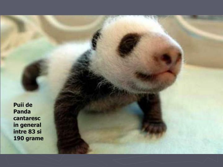 Puii de Panda cantaresc in general intre 83 si 190 grame