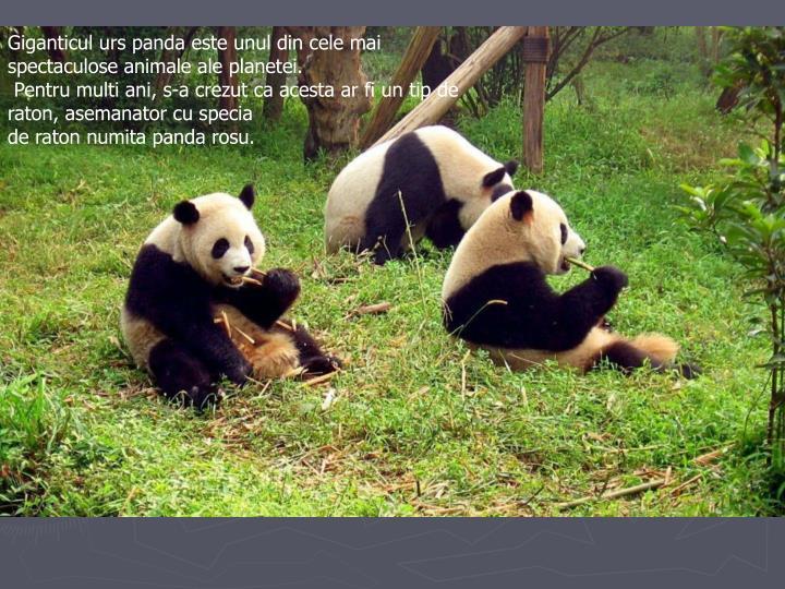 Giganticul urs panda este unul din cele mai spectaculose animale ale planetei.