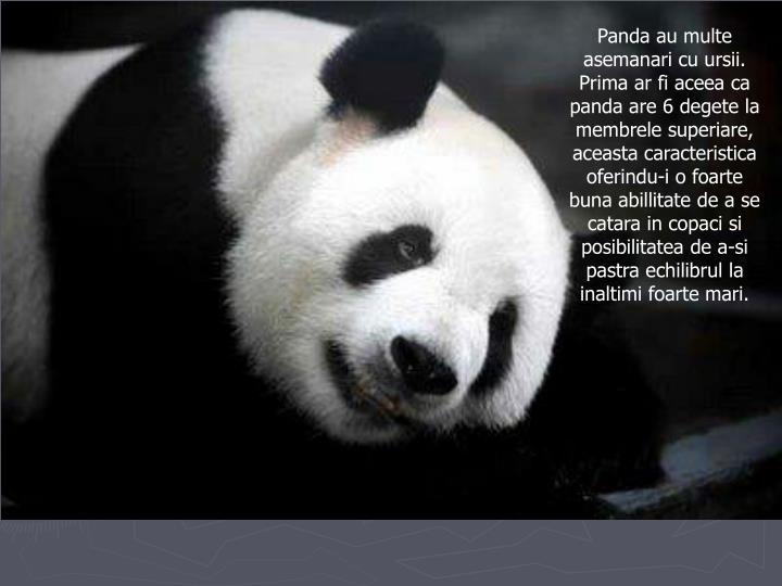 Panda au multe asemanari cu ursii. Prima ar fi aceea ca panda are 6 degete la membrele superiare, aceasta caracteristica oferindu-i o foarte buna abillitate de a se catara in copaci si posibilitatea de a-si pastra echilibrul la inaltimi foarte mari.