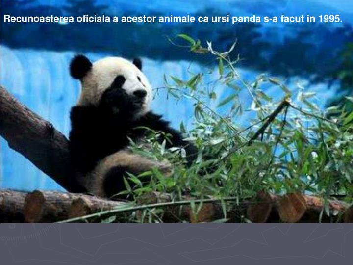 Recunoasterea oficiala a acestor animale ca ursi panda s-a facut in 1995