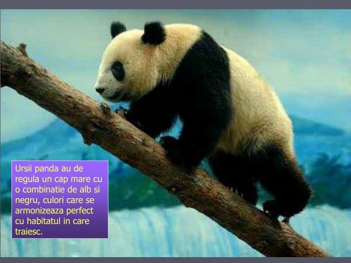 Ursii panda au de regula un cap mare cu o combinatie de alb si negru, culori care se armonizeaza perfect cu habitatul in care traiesc.