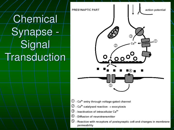 Chemical Synapse - Signal Transduction