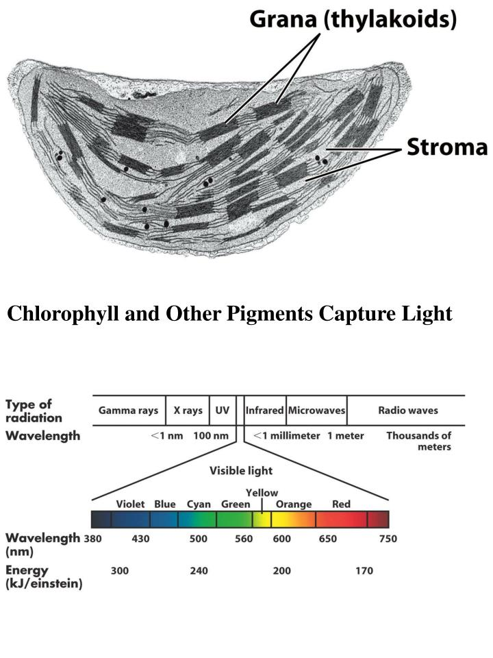 Chlorophyll and Other Pigments Capture Light