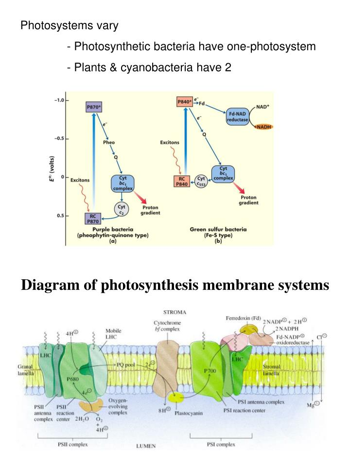 Photosystems vary