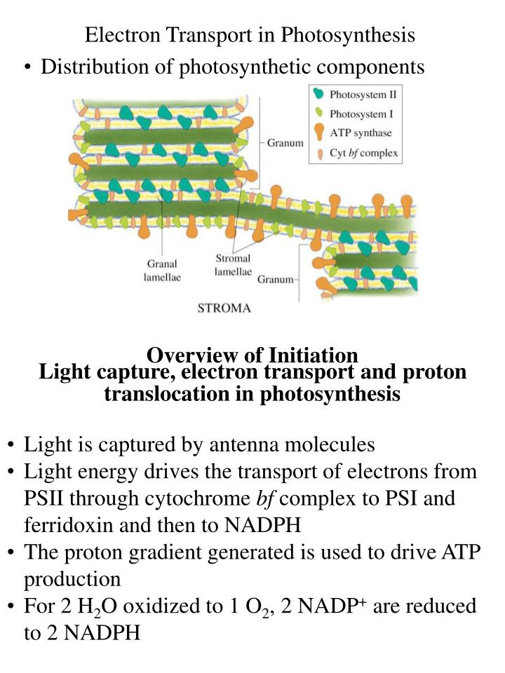 Electron Transport in Photosynthesis