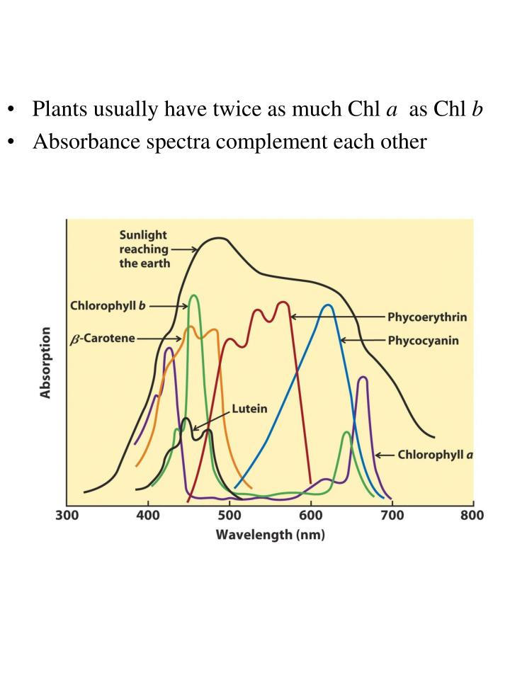Plants usually have twice as much Chl