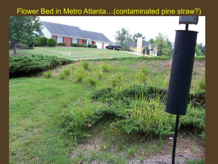 Flower Bed in Metro Atlanta…(contaminated pine straw?)