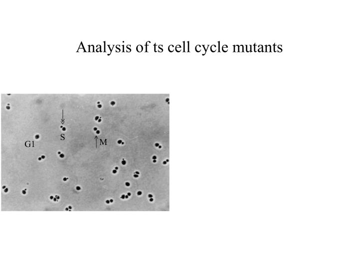 Analysis of ts cell cycle mutants