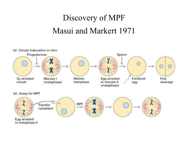 Discovery of MPF