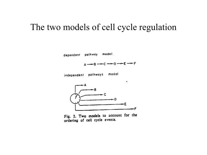 The two models of cell cycle regulation