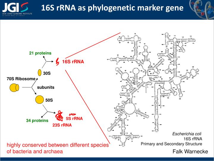 16s rrna as phylogenetic marker gene