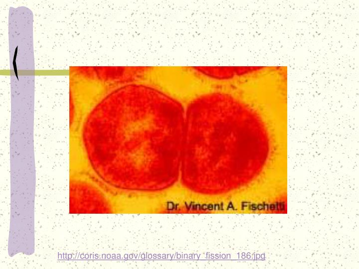 http://coris.noaa.gov/glossary/binary_fission_186.jpg