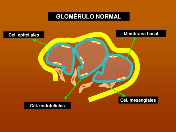 GLOMÉRULO NORMAL
