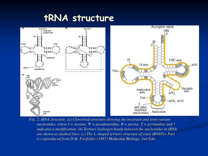 tRNA structure