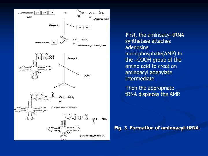 First, the aminoacyl-tRNA synthetase attaches adenosine monophosphate(AMP) to the