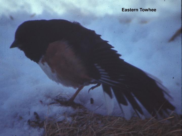 Eastern Towhee