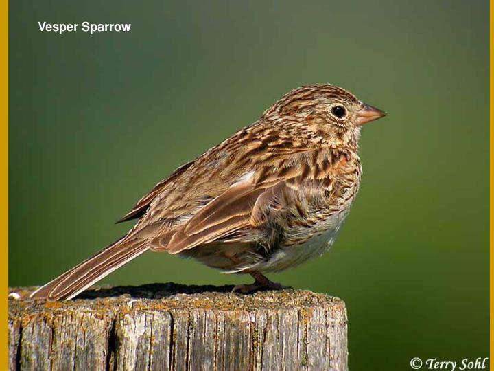 Vesper Sparrow