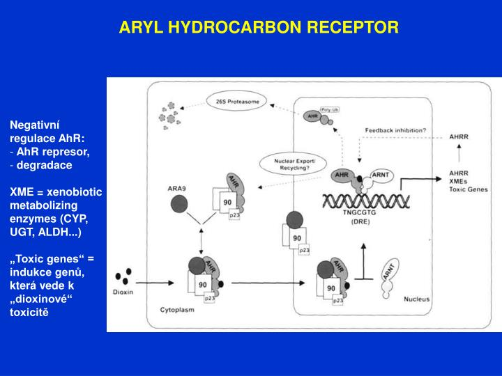 ARYL HYDROCARBON RECEPTOR