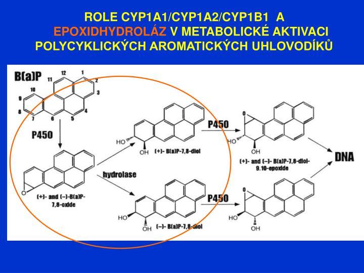 ROLE CYP1A1/CYP1A2/CYP1B1  A