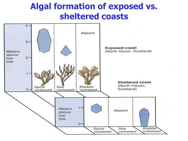 Algal formation of exposed vs. sheltered coasts
