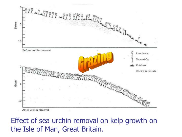 Effect of sea urchin removal on kelp growth on the Isle of Man, Great Britain.