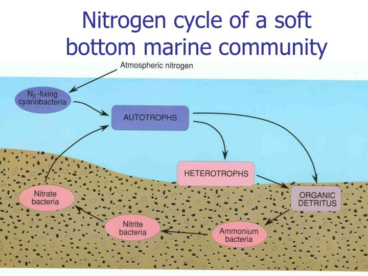 Nitrogen cycle of a soft bottom marine community