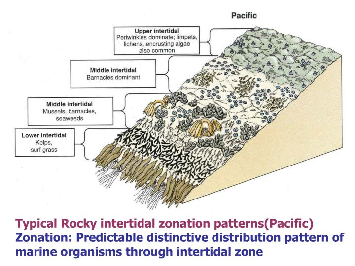 Typical Rocky intertidal zonation patterns(Pacific)