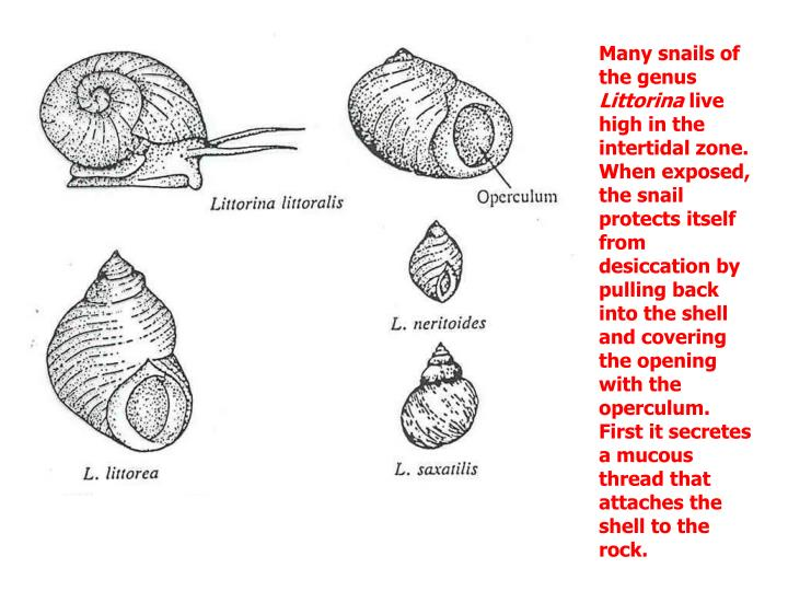 Many snails of the genus