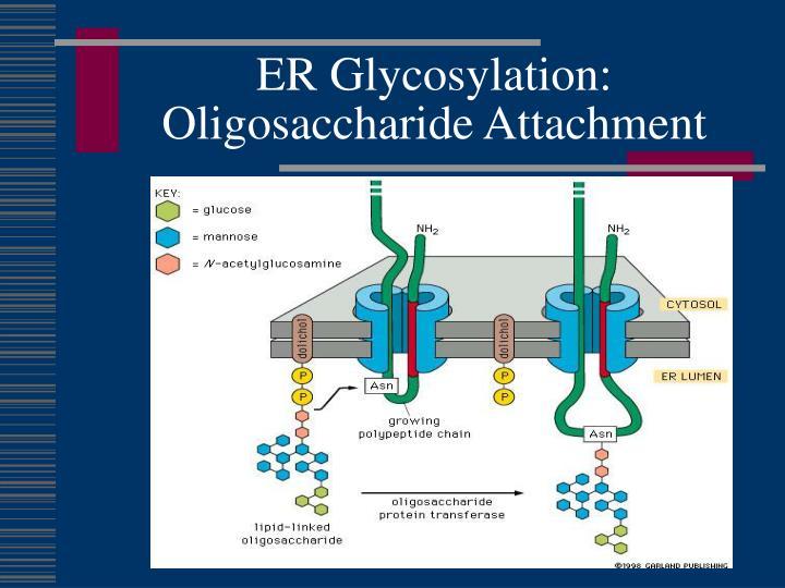 ER Glycosylation:  Oligosaccharide Attachment
