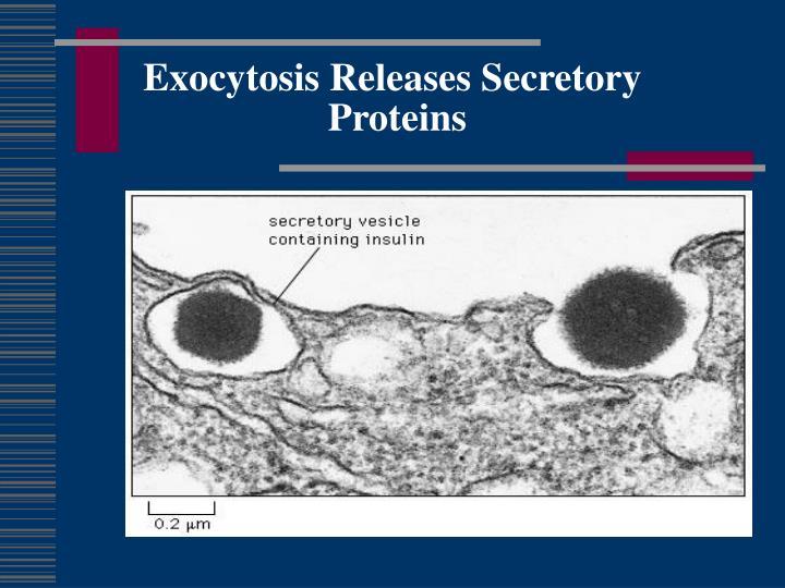Exocytosis Releases Secretory