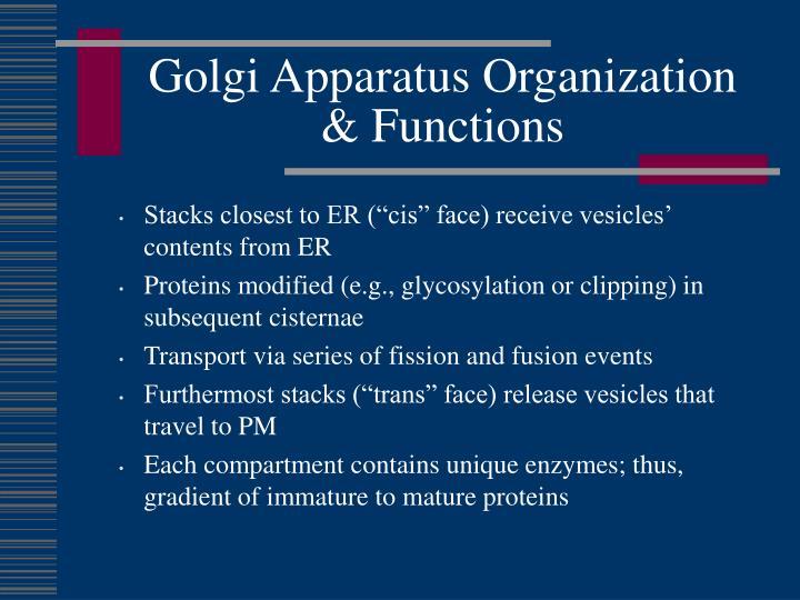 Golgi Apparatus Organization & Functions