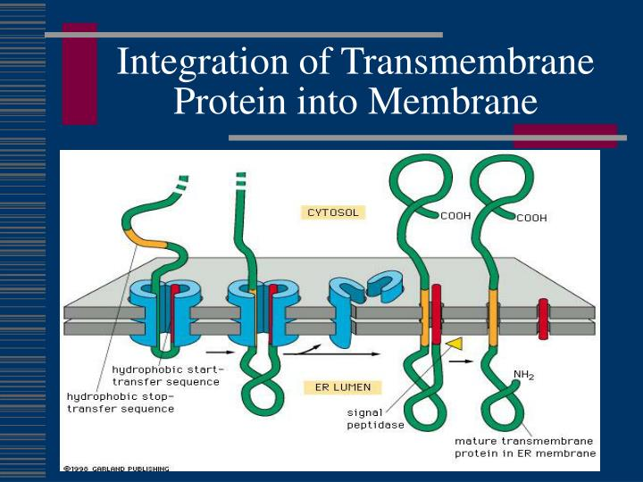 Integration of Transmembrane Protein into Membrane
