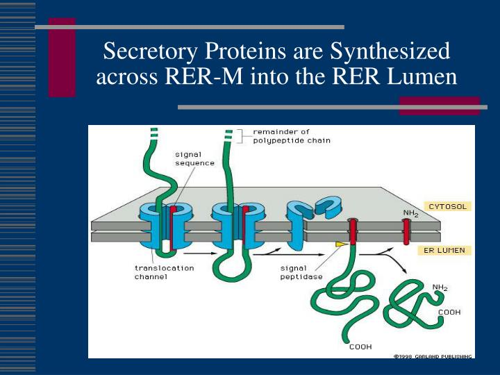 Secretory Proteins are Synthesized across RER-M into the RER Lumen