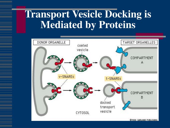 Transport Vesicle Docking is  Mediated by Proteins