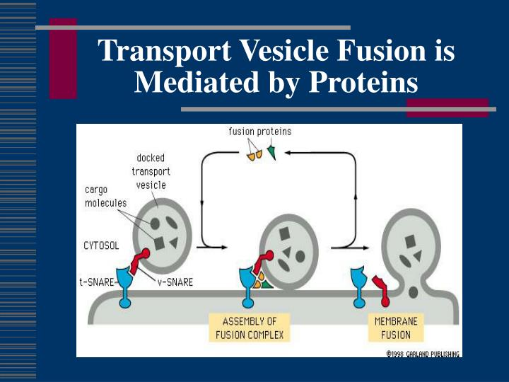 Transport Vesicle Fusion is Mediated by Proteins