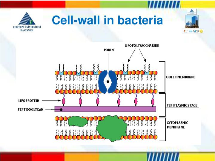 Cell-wall in bacteria