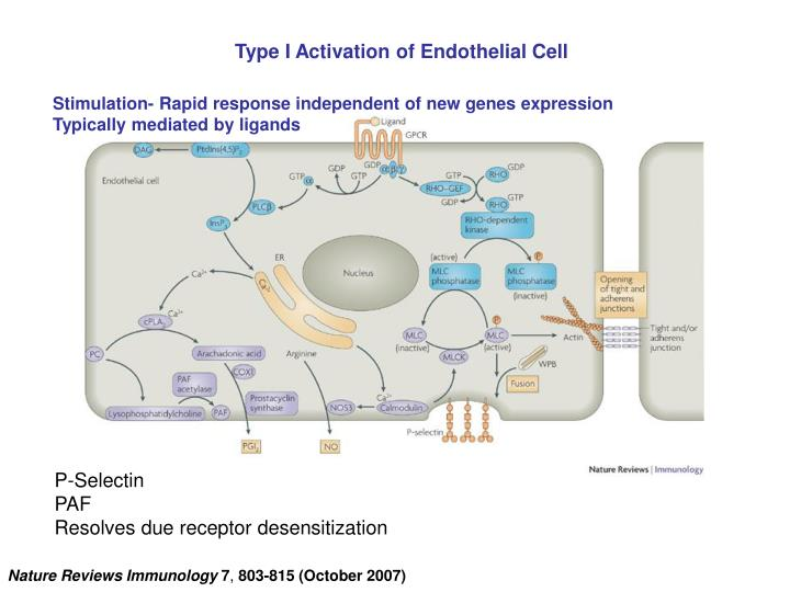 Type I Activation of Endothelial Cell