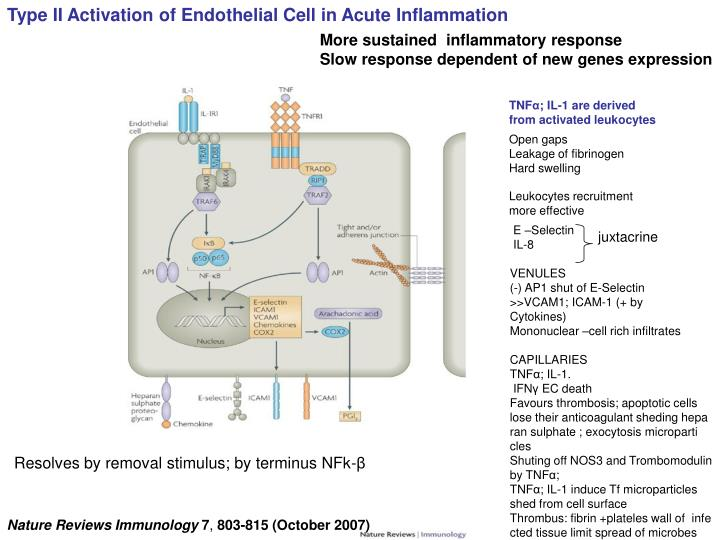 Type II Activation of Endothelial Cell in Acute Inflammation