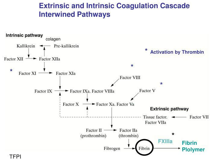 Extrinsic and Intrinsic Coagulation Cascade