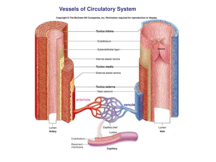 Vessels of Circulatory System
