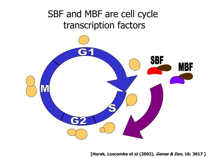 SBF and MBF are cell cycle