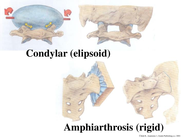 Condylar (elipsoid)