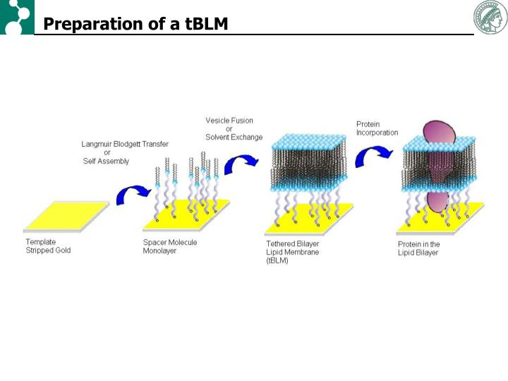 Preparation of a tBLM