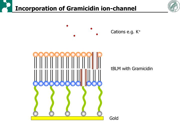 Incorporation of Gramicidin ion-channel
