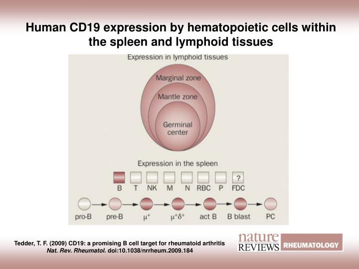 Human CD19 expression by hematopoietic cells within the spleen and lymphoid tissues