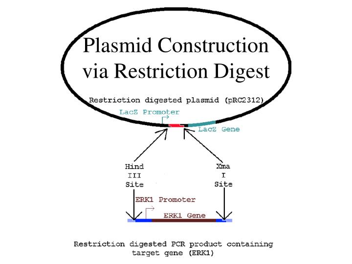 Plasmid Construction