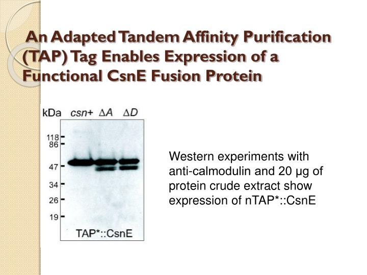 An Adapted Tandem Affinity Purification (TAP) Tag Enables Expression of a Functional CsnE Fusion Protein